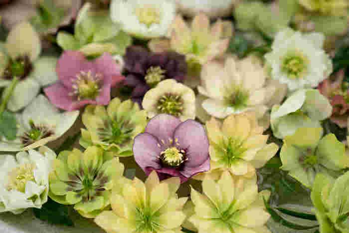 花の色もピンクやホワイト、グリーンに紫など様々な色があります。また、スポットと呼ばれる小さな斑点状の模様や、脈状の線模様が入った「ベイン」、花びらが2種類の色で構成された「バイカラー」など、それぞれの品種ごとに多彩な模様を鑑賞できます。