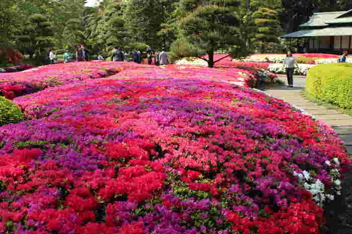 クルメつつじが満開の様子。赤や紫のじゅうたんを敷き詰めたよう。近くには、同じくつつじが有名な根津神社もあります。 都内にあって気軽に訪れられるのが嬉しい。
