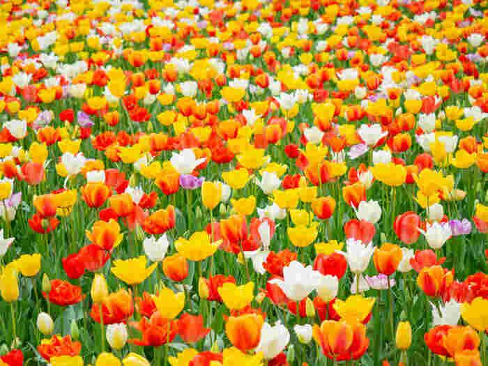 赤、白、黄色をしたチューリップの花が競うように花を咲かせている様子を眺めていると、童謡「チューリップの歌」を自然と口ずさみたくなってくる気持ちになってきます。