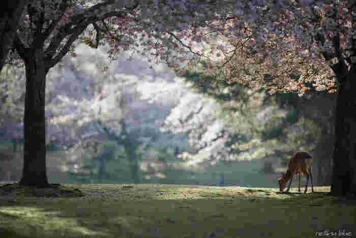 戦後、太宰治らと共に人気作家となった坂口安吾。長編小説はなく、文豪として知られているとは言えませんが、不思議な吸引力を持つ稀有な作家です。特に代表作「桜の森の満開の下」は、そんな彼の世界が堪能できる傑作短編。粗野な山賊と、美しくも残酷な女との物語です。