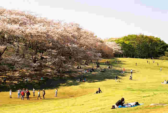 根岸森林公園は、日本初の洋式競馬場の跡地を整備して造られた公園です。芝生が敷かれた公園内には約450本の桜が植樹されており、芝生の緑と桜の淡ピンク色の美しいコントラストを眺めることができます。