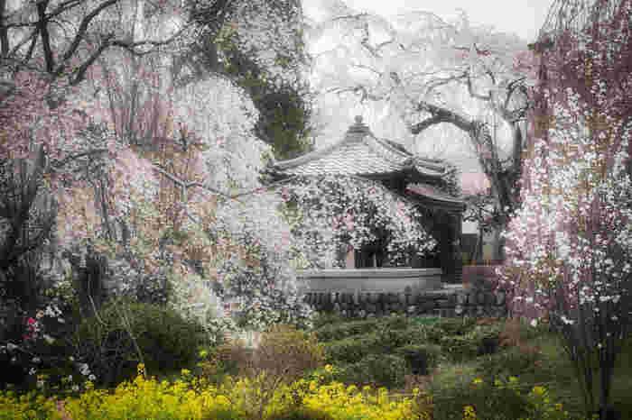 法善寺のしだれ桜。見ごろはソメイヨシノより遅め。  長瀞の各桜スポットまでは秩父線「野上駅」「長瀞駅」から全て徒歩圏内にあるのも魅力。