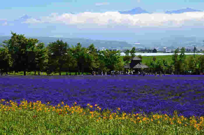 日本を代表するラベンダーの名所として知られるファーム富田では、約15ヘクタールにも及ぶラベンダー畑があります。