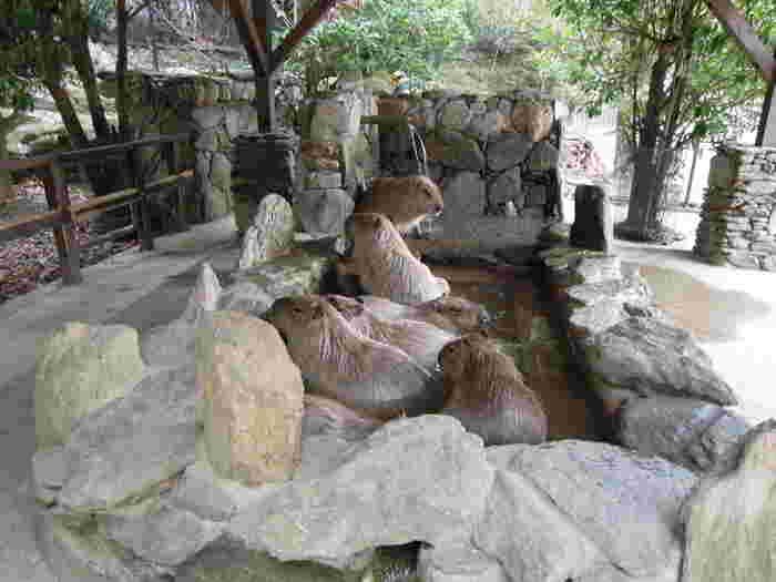 長崎バイオパークでは、カピバラ露天風呂をUSTREAMで生中継し、その録画をサイト内で見る事が出来ます。