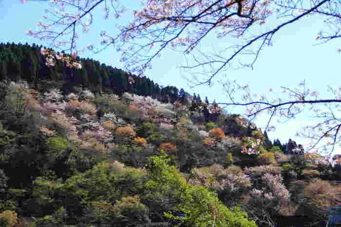 ダム湖を取り囲む周囲の山々の桜も、3月中旬から4月上旬にかけて次々と花を咲かせ、市房ダム周辺は絵画のような景色へと変貌します。