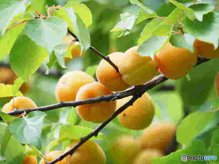 6月下旬から7月にかけてが旬のあんず。日本では、長野や東北、北陸などのひんやり涼しい気候の土地で栽培されています。酸味が強めで、ジャムやシロップ漬けなどにもよく使われます。