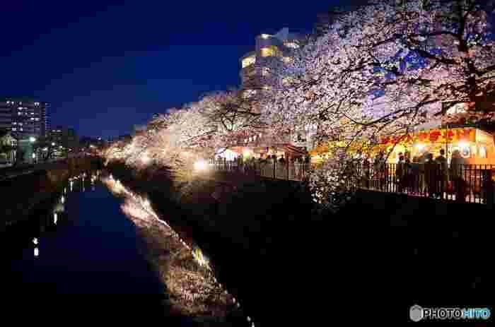 大岡川プロムナードでは、夜になると約2500本のぼんぼりに灯りがともされ、桜のライトアップが施されます。
