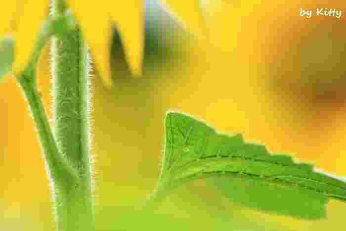 ついつい正面のお花を撮りたくなってしまうひまわりですが、後ろ姿や茎など、他の人が見ていないところにレンズを向けると自分だけの写真になります。こちらもアップで撮ったことで、茎や葉の質感が伝わってきます。