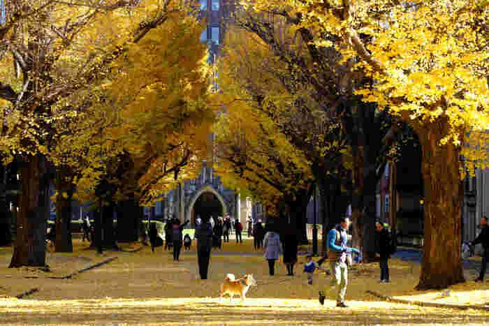 外国人観光客も多く訪れる「東京大学」の構内には、美しい、いちょう並木があります。在学生でなくても自由に見学できるので、ご近所からお散歩に訪れた方や家族連れなどで、のどかな空気が流れています。いちょうの黄葉の見頃は、毎年11月下旬~12月上旬です。