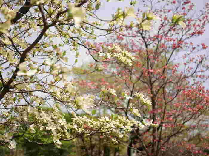 """アメリカヤマボウシとも呼ばれる、ミズキ科ミズキ属ヤマボウシ亜属の落葉高木。花の色は、白、ピンク、赤があります。 花言葉の""""永続性""""は、一青窈さん「ハナミズキ」の""""君と好きな人が百年続きますように""""の歌詞に反映されています。"""