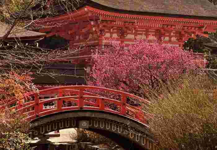 【画像は、下鴨神社の「光琳の梅」。絵師・尾形光琳の描いた、国宝『紅白梅図屏風』のモチーフとなった梅です。】